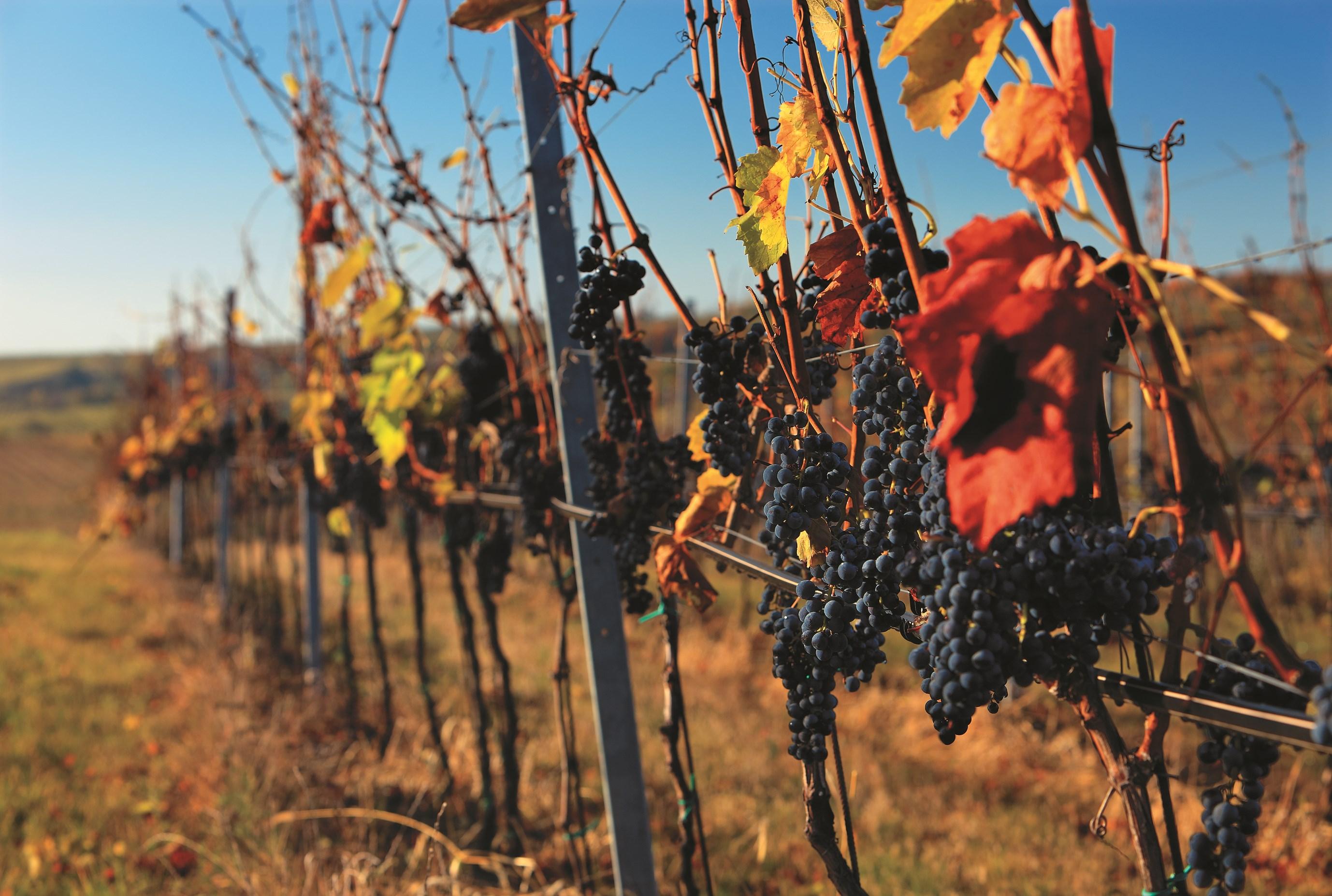 Карлштейнские торжества по случаю сбора винограда